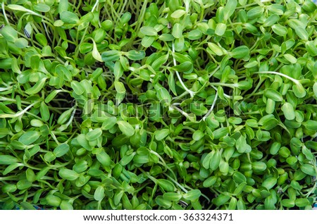 sunflower sprouts green young