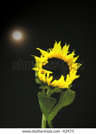 sunflower & the moon