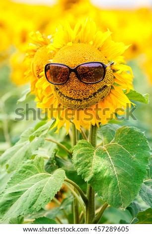 Sunflower wearing sunglasses in the field. Background.