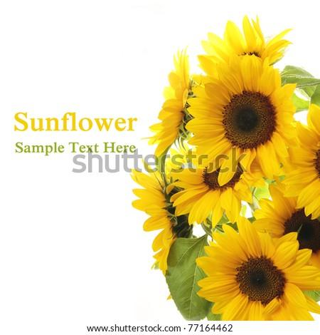 Sunflower. White background - stock photo