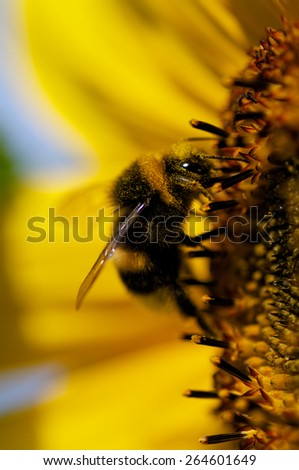 Sunflower with bee - stock photo