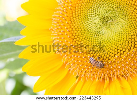sunflower with bee and blur background