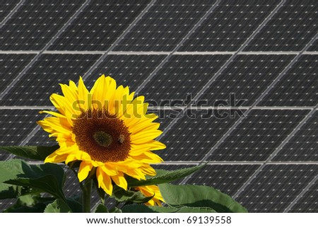 Sunflower with bees in front of solar panels - stock photo