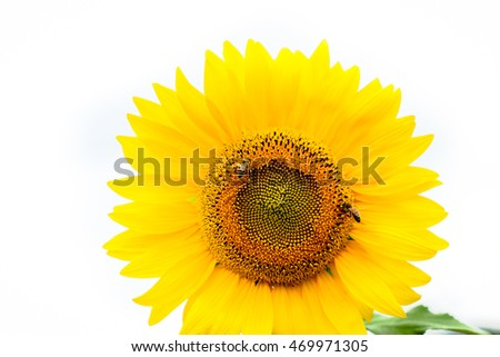 Sunflower with bees isolated on white.