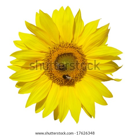 sunflower with bees isolated on white background