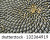 Sunflower with Black Seeds Close-Up - stock photo