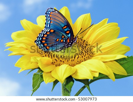 Sunflower with blue butterfly - stock photo