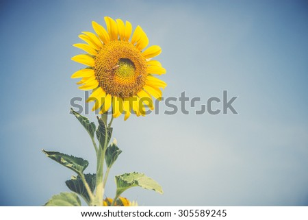 Sunflower with blue sky in summer (Vintage filter used) - stock photo