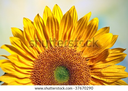 Sunflower with bottom half covered by image border. - stock photo