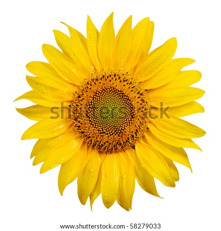 Sunflower with dew drops on white background - stock photo