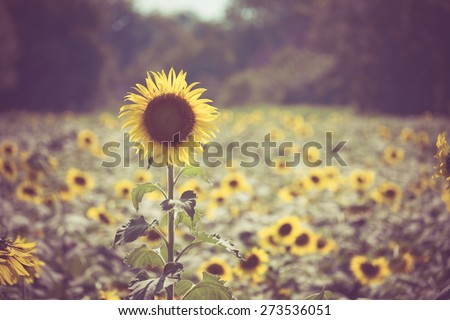 sunflower with filter effect retro vintage style - stock photo