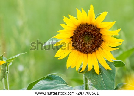 Sunflower with green background - stock photo
