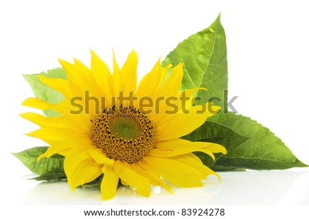 Sunflower with green leaves isolated on white background with copy space - stock photo