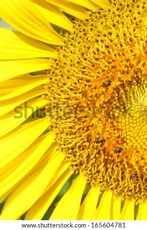 sunflower with insect in garden - stock photo