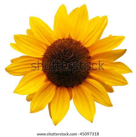 sunflower with path - stock photo