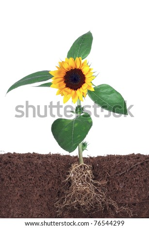 sunflower with root  isolated on white - stock photo