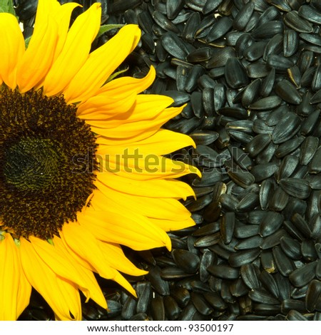 sunflower with seeds