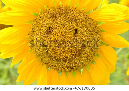 sunflower with smilling face.