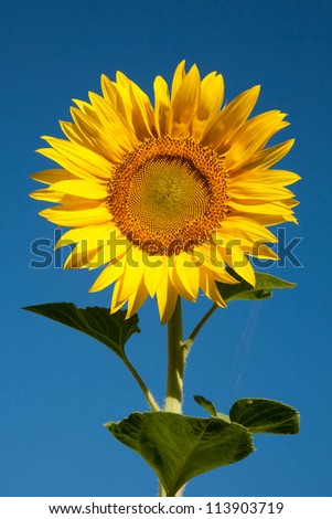 Sunflower with spiderweb on a sheet on a background of blue sky - stock photo