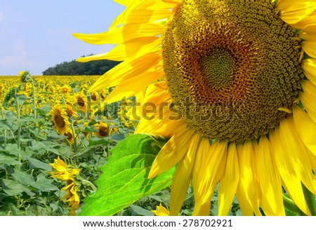 Sunflower with sunflower field in the blurred background  - stock photo