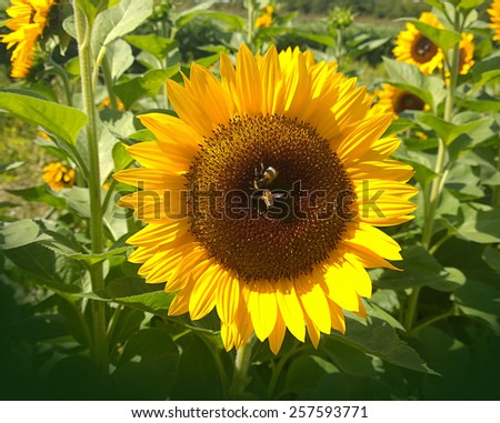 Sunflower with two bees close up in rural environment on summer - stock photo