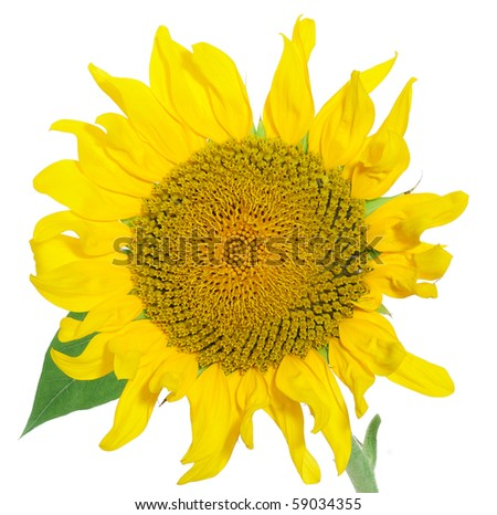 sunflower with waved petals isolated