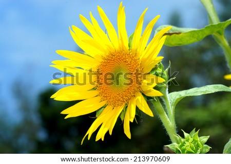 Sunflowers - stock photo