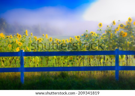 Sunflowers along a white post and rail fence on a foggy morning, Stowe Vermont, USA - stock photo