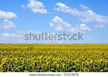 sunflowers and clover on the field under cloudy sky