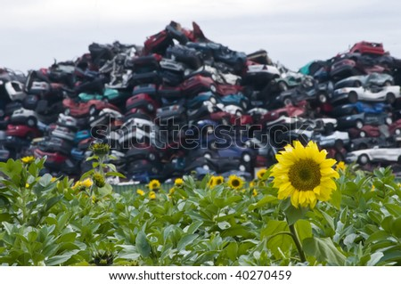 Sunflowers and Crushed Cars with Focus on the Flower - stock photo