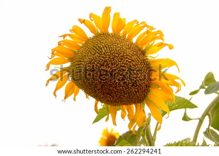Sunflowers are grown for seed. And begin to wither - stock photo