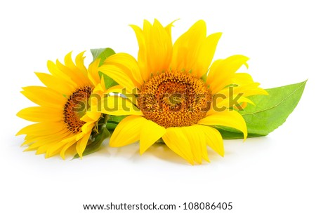 Sunflowers are on a white background - stock photo