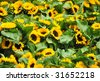 Sunflowers at a market in Brussels, Belgium - stock photo