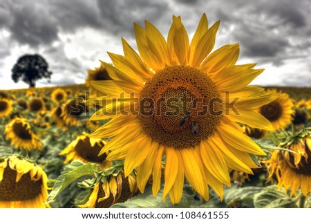 Sunflowers at Burgundy - France - stock photo