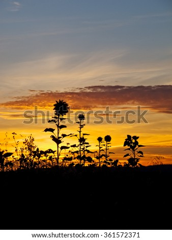 Sunflowers at dusk - stock photo