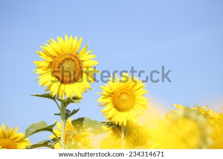 sunflowers at the field in summer