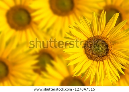 sunflowers background - stock photo