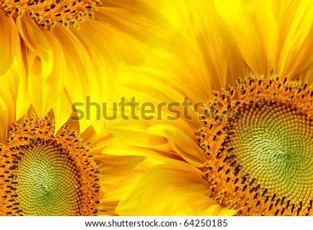 Sunflowers background - stock photo
