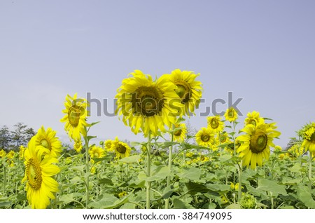 Sunflowers blooming against a bright sky