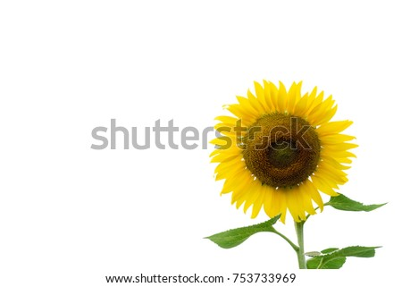 Sunflowers blooming in farm isolated on white background.