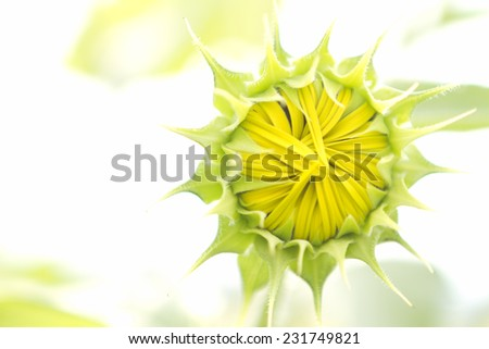 Sunflowers blooming in the farm fields. - stock photo