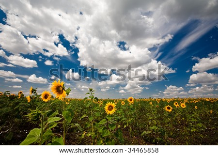 Sunflowers, blue sky and clouds - stock photo