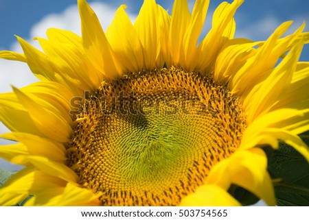sunflowers,blue sky,summer