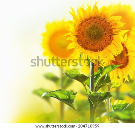 Sunflowers border design isolated on white with blurred corner background. Agriculture. Blooming sunflower closeup.Yellow flowers - stock photo