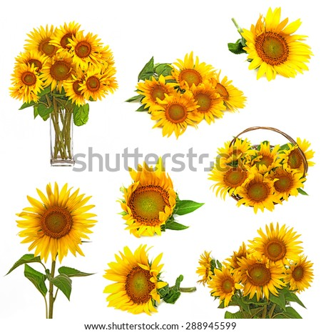sunflowers collection - stock photo
