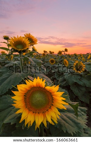 Sunflowers cover the landscape during sunset.  - stock photo