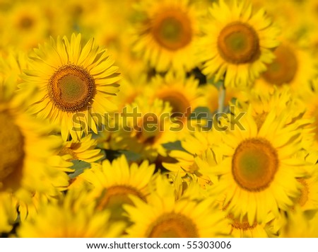 Sunflowers field. - stock photo
