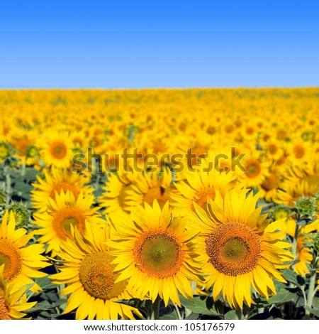 Sunflowers field and blue clear sky. - stock photo