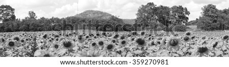 Sunflowers field black and white,panorama,thai,korat,pakchong