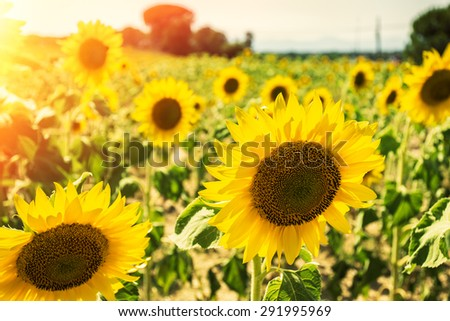 Sunflowers field in afternoon light. - stock photo